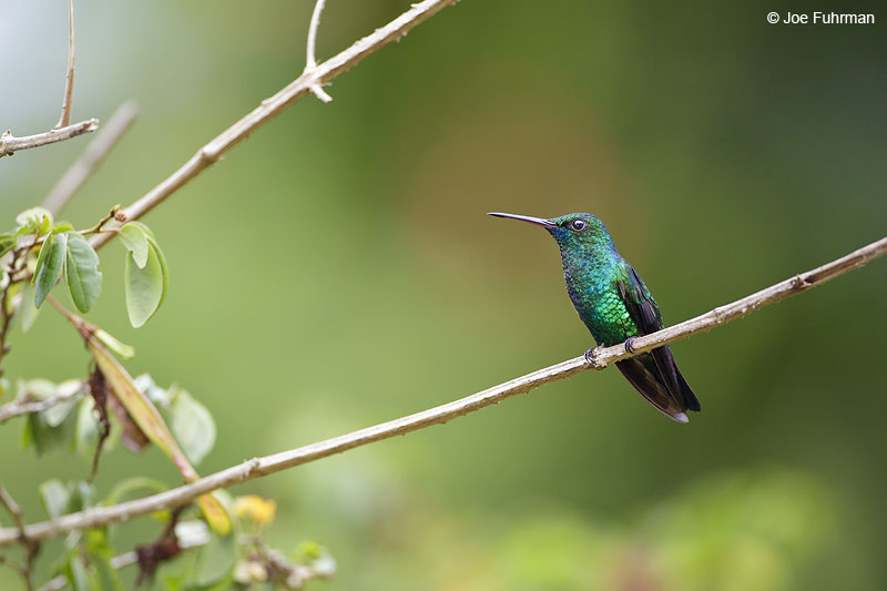 Blue-chinned Sapphire Trinidad And Tobago   Dec. 2012