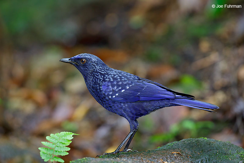 Blue Whistling Thrush Thailand   October 2015