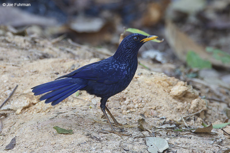 Blue Whistling Thrush Thailand Feb. 2012