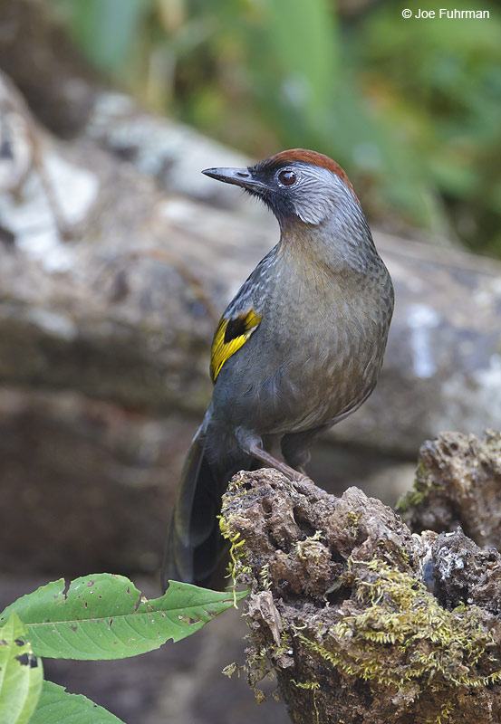 Chestnut-crowned Laughingthrush Thailand   Feb. 2012