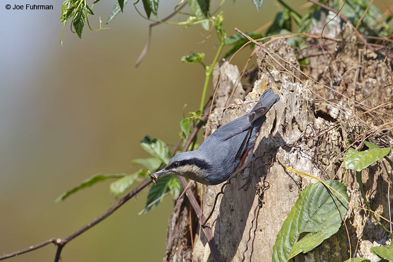 Chestnut-vented Nuthatch Thailand   Feb. 2012