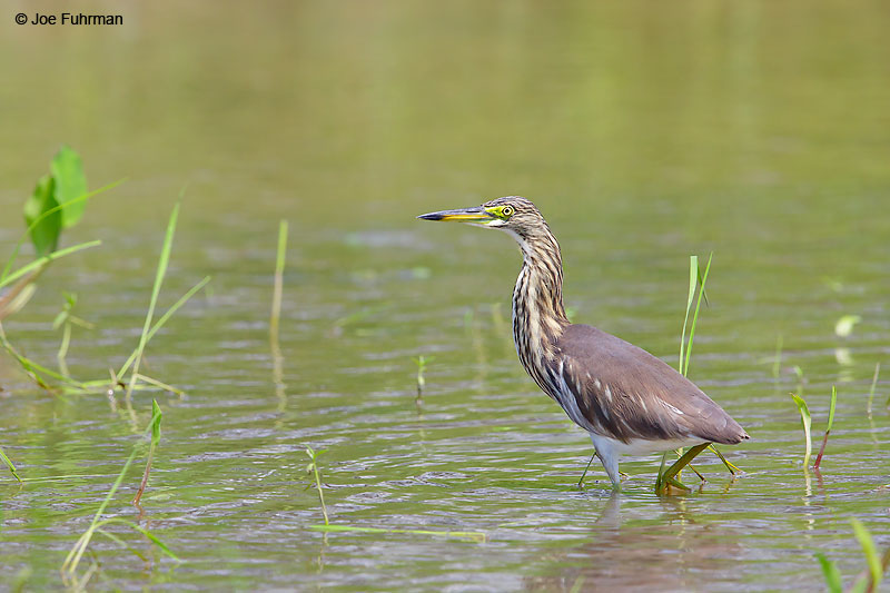Chinese Pond-Heron Thailand   October 2015