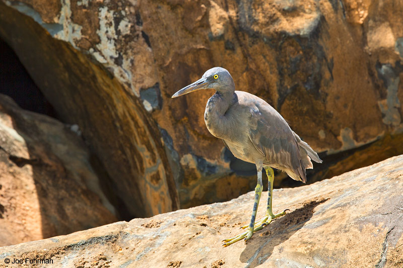 Eastern Reef-Egret (Egretta sacra)Rarotonga, Cook Islands   Dec. 2014