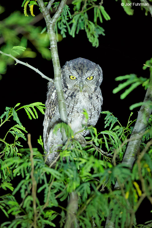 Eastern Screech-Owl Tamaulipas, Mexico Sept. 2016