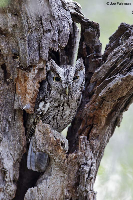 Eastern Screech-Owl Starr Co., TX April 2012