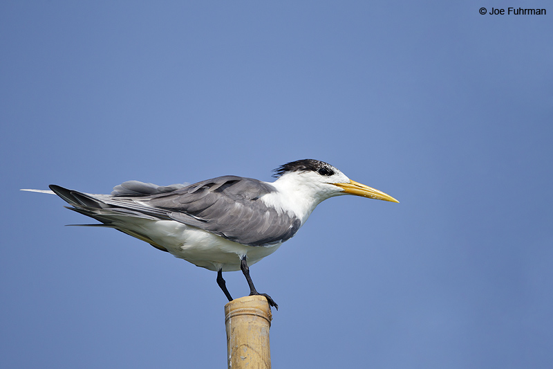 Great Crested Tern Thailand   Feb. 2012
