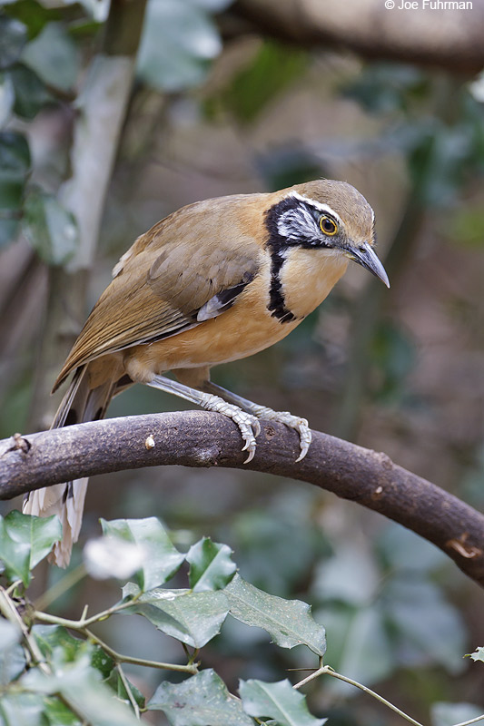 Necklaced Laughingthrush Thailand   Feb. 2012