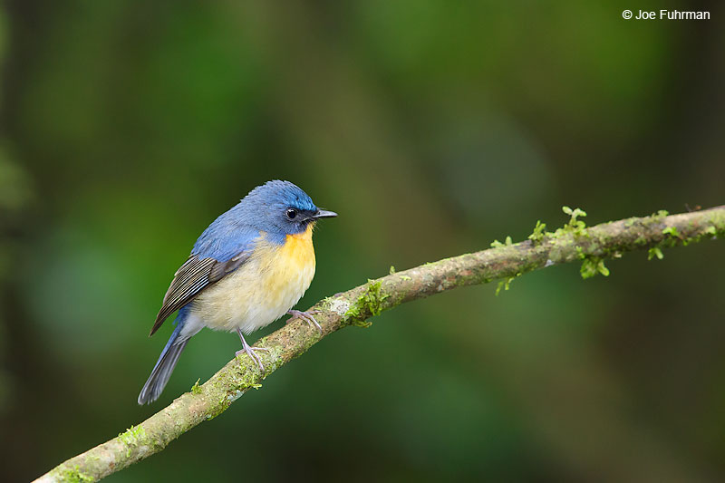 Hill Blue-Flycatcher Thailand   October 2015