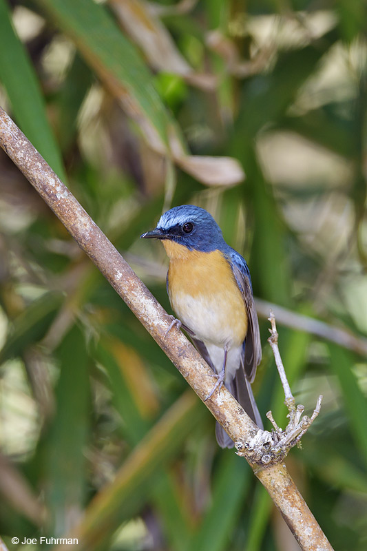 Hill Blue Flycatcher Thailand Feb. 2012