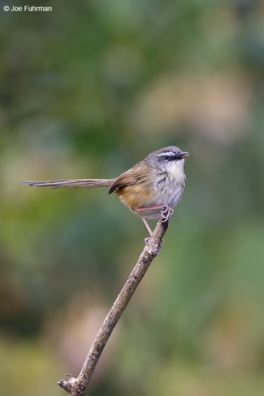 Hill Prinia Thailand   Feb. 2012