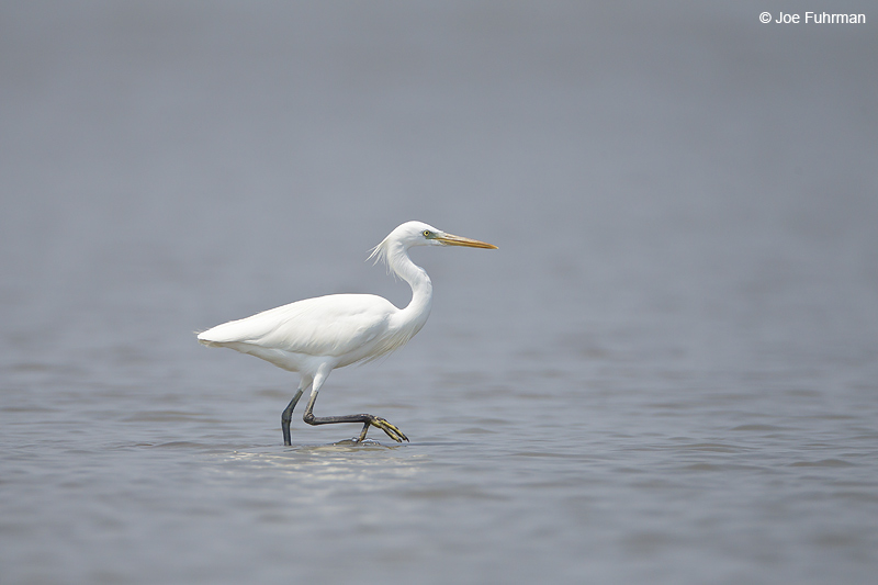 Intermediate Egret Thailand   Feb. 2012