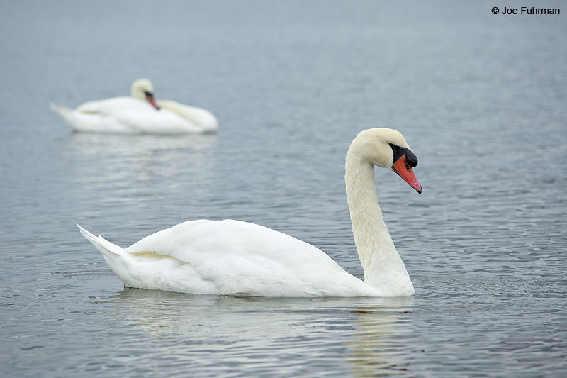 Mute Swan New Haven Co., CT Oct. 2014