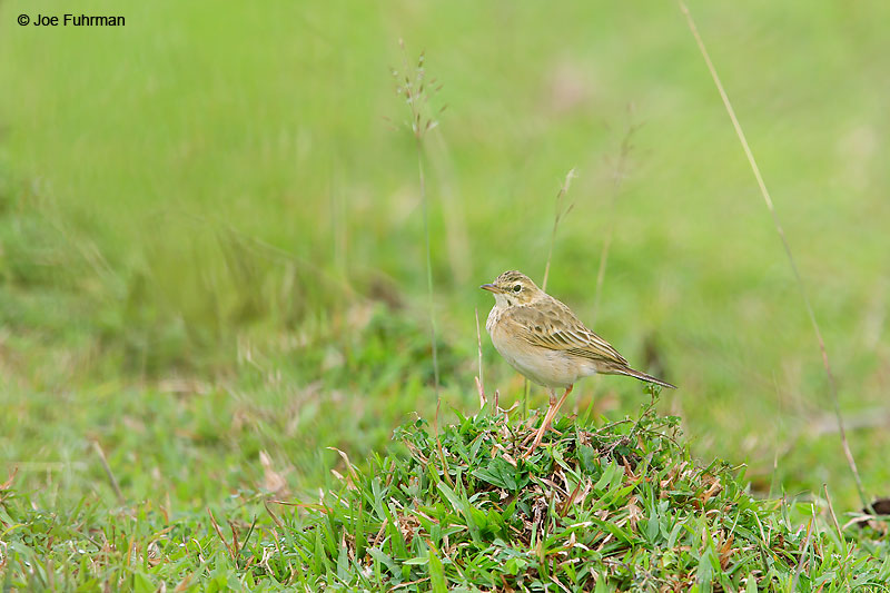 Paddyfield Pipit Thailand   October 2015