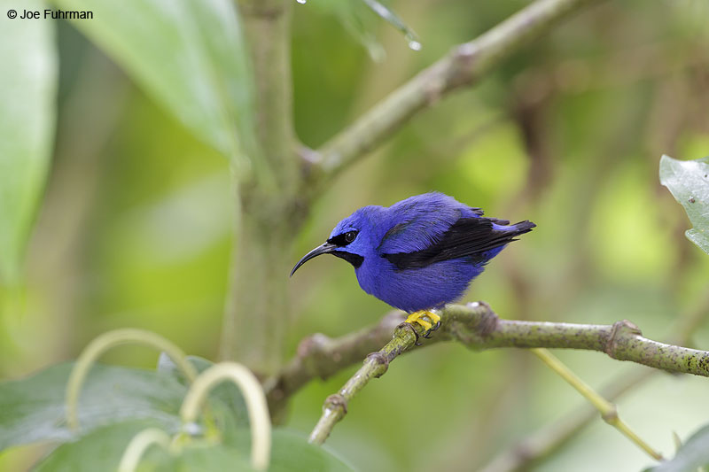 Purple Honeycreeper Trinidad And Tobago   Dec. 2012