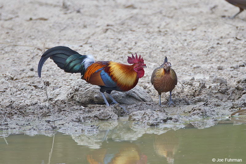 Red Junglefowl Thailand   Feb. 2012