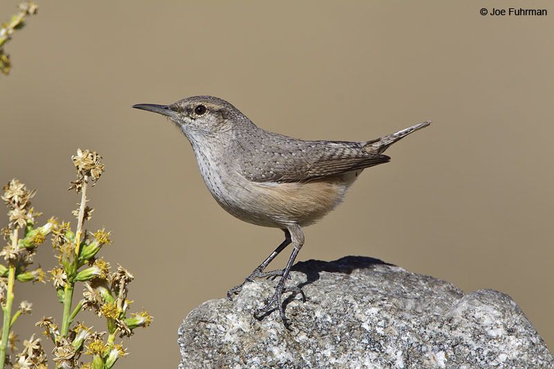 Rock Wren Pacoima Cyn.-L.A. Co., CA December 2009