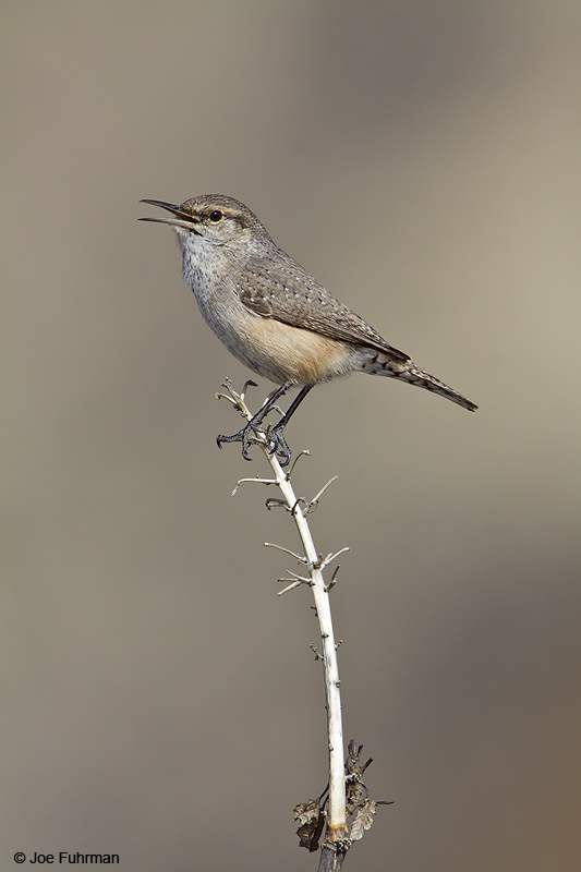 Rock Wren L.A. Co., CA December 2009