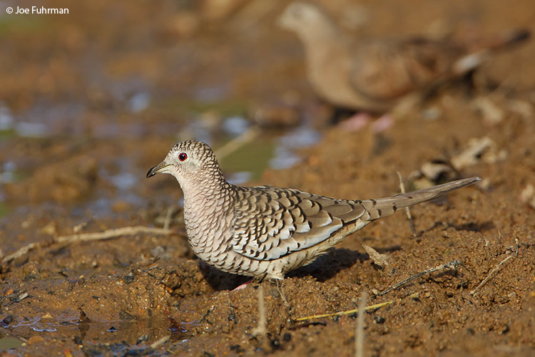 Scaled Dove Hato Pinero, Venezuela   February 2009