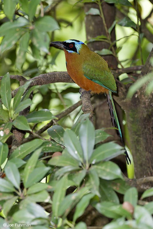 Blue-crowned Motmot Trinidad And Tobago   Dec. 2012