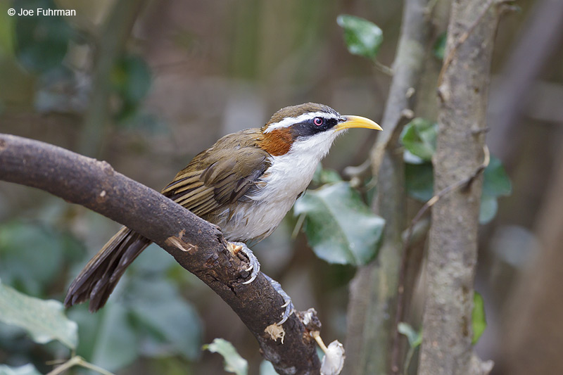 White-browed Scimitar Babbler Thailand Feb. 2012