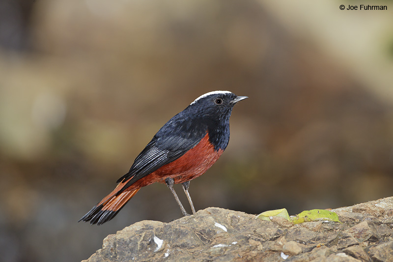 White-capped Water Redstart Thailand   Feb. 2012