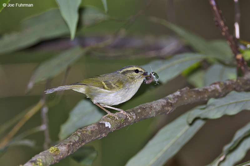White-tailed Leaf Warbler Thailand   Feb. 2012