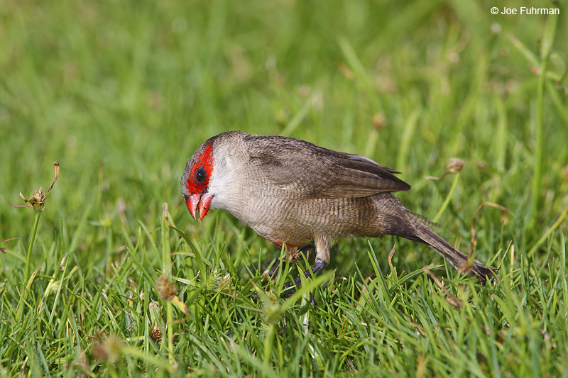 Common Waxbill Oahu, HA   November 2009