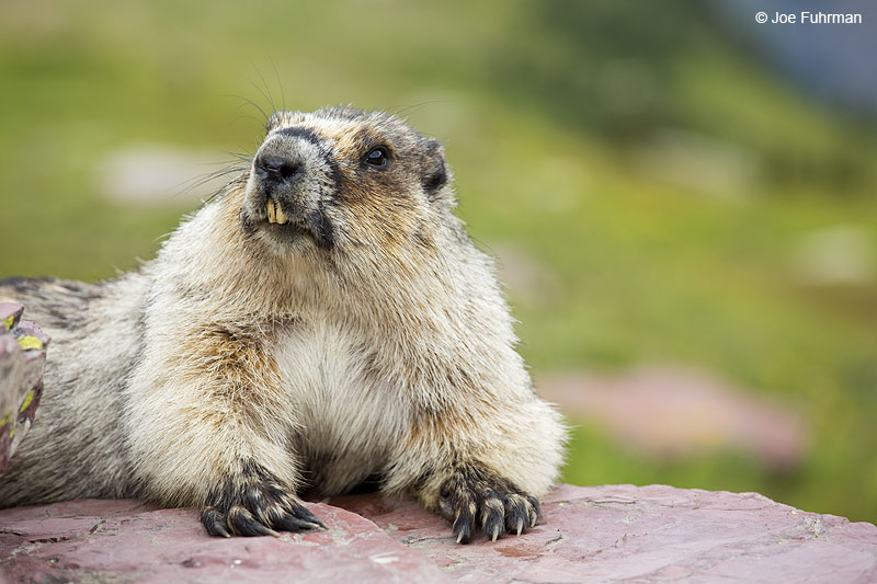 Hoary Marmot Glacier National Park, MT   Aug. 2014