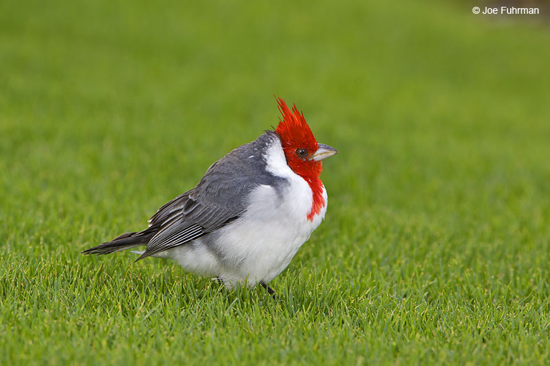 Red-crested_Cardinal_MG_7694