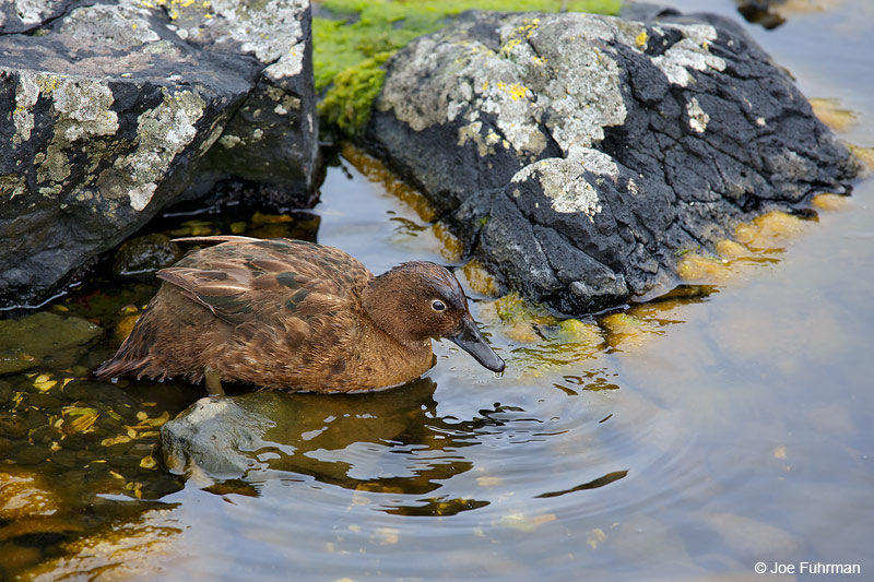 Auckland_Island_Flightless_Teal_16A4371