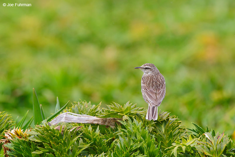 Auckland_Island_Pipit_16A3738