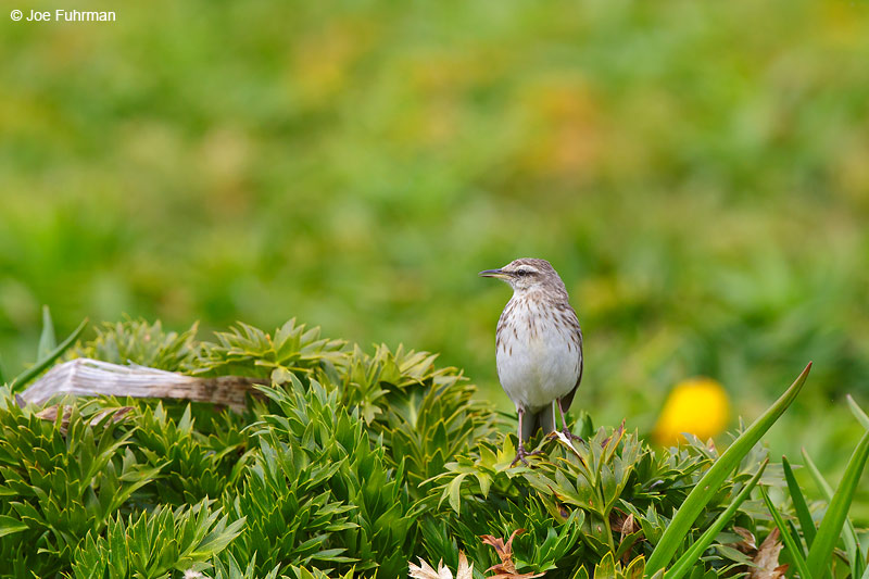 Auckland_Island_Pipit_16A3745