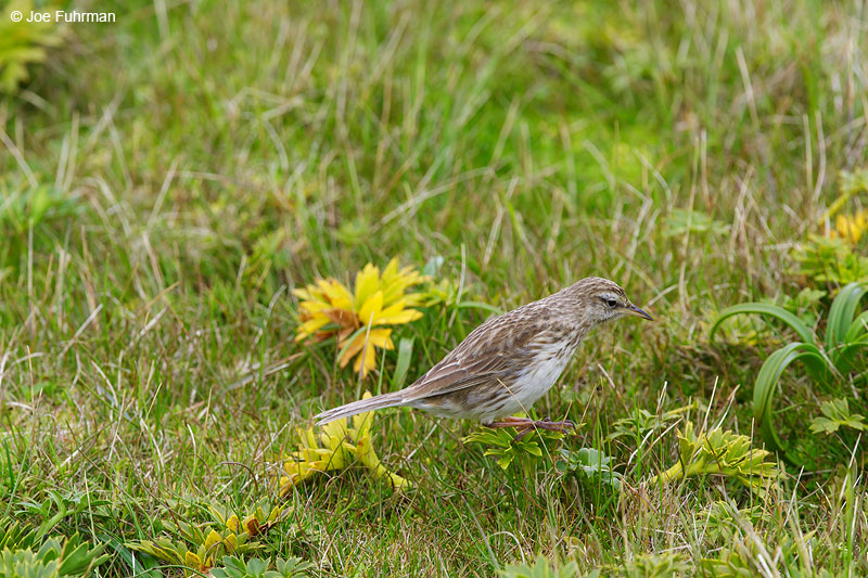 Auckland_Island_Pipit_16A3776