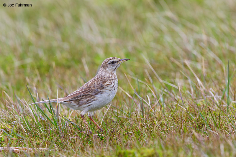 Auckland_Island_Pipit_16A3827