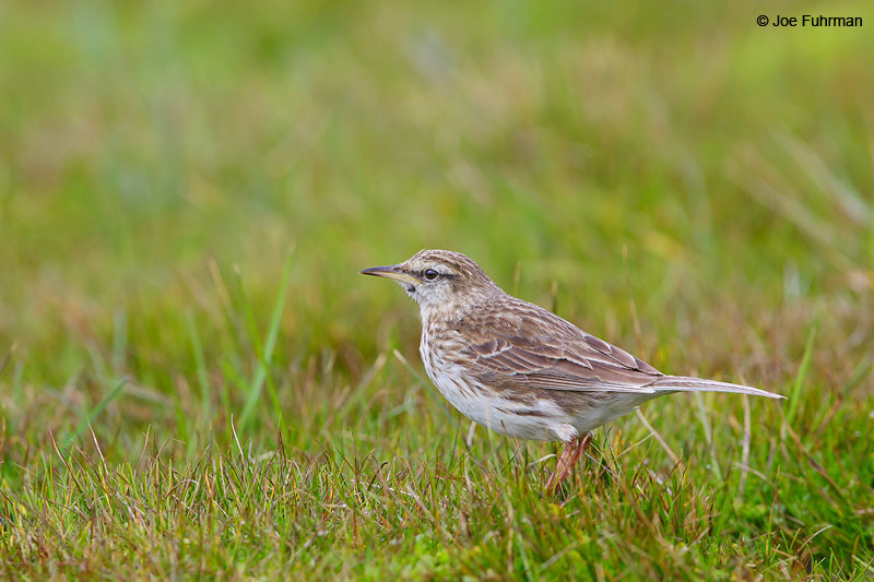 Auckland_Island_Pipit_16A3883