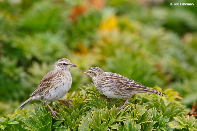 Auckland_Island_Pipit_16A3975