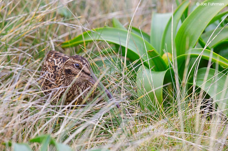 Auckland_Island_Snipe_16A3610