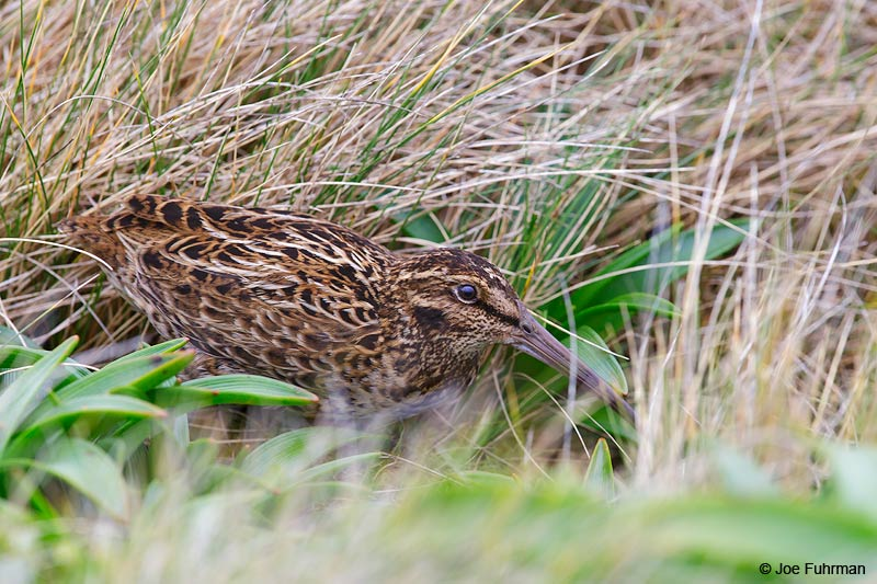 Auckland_Island_Snipe_16A3624