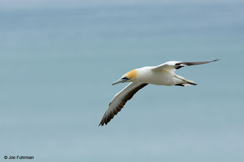 Australasian Gannet   Morus serratorMuriwai, New Zealand   Dec. 2014