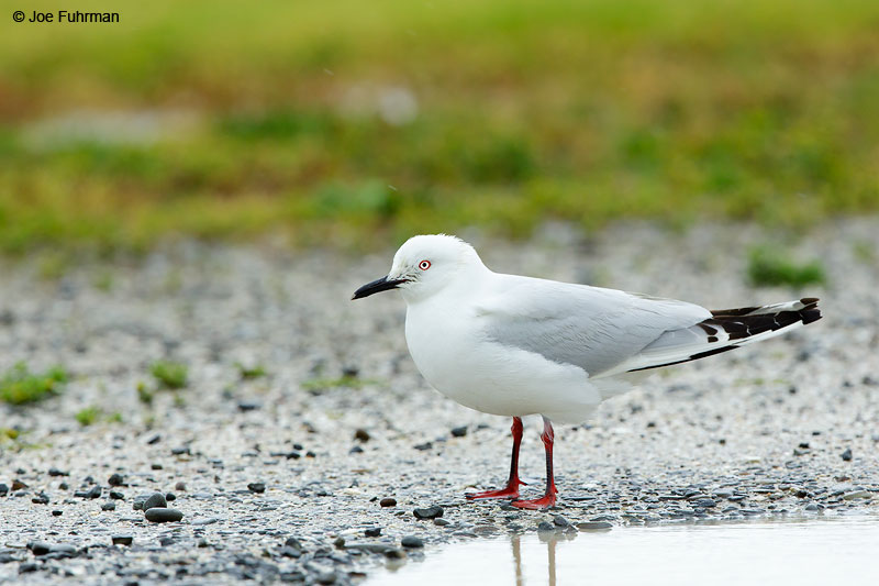 Black-billed Gull     Chroicocephalus bulleriAuckland, New Zealand   Dec. 2014