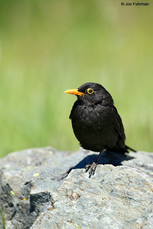 Blackbird     Turdus Merula Mt. Cook National Park, N.Z.   Nov. 2014