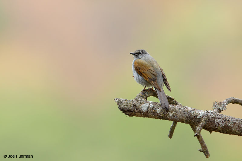 Brown-backed SolitaireReserva Chara Pinta, Sinaloa, Mexico April 2015