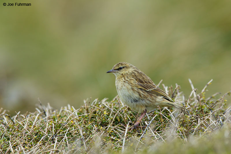Campbell Island Pipit Campbell Island, New Zealand   Nov. 2014
