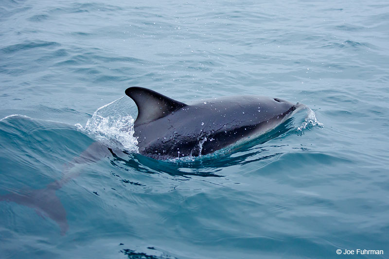 Dusky DolphinKaikoura, New Zealand   Dec. 2014