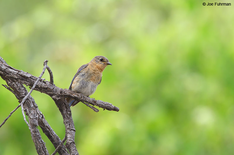 Eastern Bluebird (fulva subspecies)Santa Cruz Co., AZ   June 2015