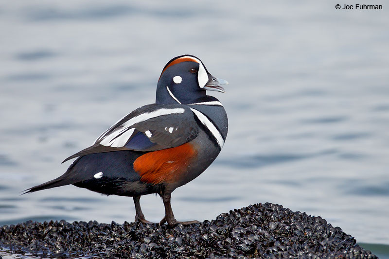 Harlequin Duck, maleOcean Co., NJ Jan. 2013