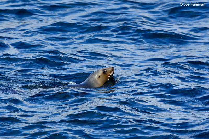 Hooker's Sea LionCampbell Island, New Zealand   Nov. 2014