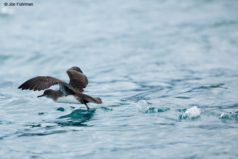 Hutton's Shearwater Kaikoura, New Zealand   Dec. 2014