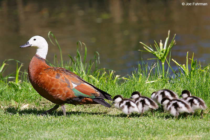 Paradise Shelduck Christchurch, NZ   Nov. 2014