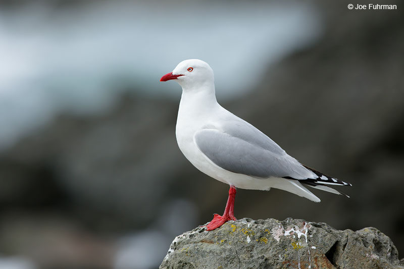 Red-billed GullKaikoura, New Zealand   Dec. 2014